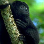 Closeup of howler monkey in Belize clinging to a tree