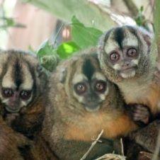 Three wooly monkeys sitting in a tree