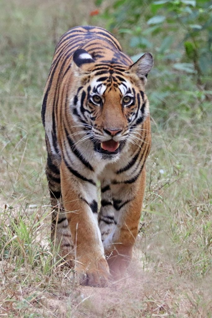 Bengal tiger walking through grass