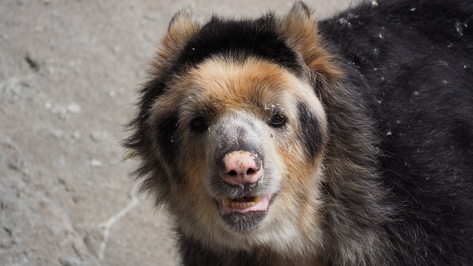 Andean Bear - Spectacled bear