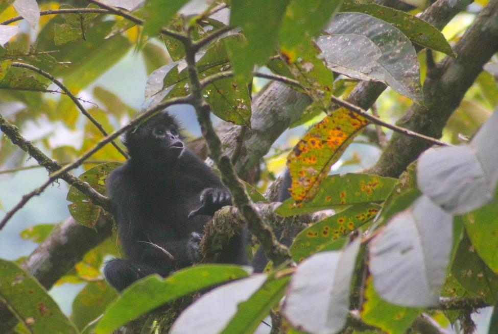 Colombian black spider monkey in a tree