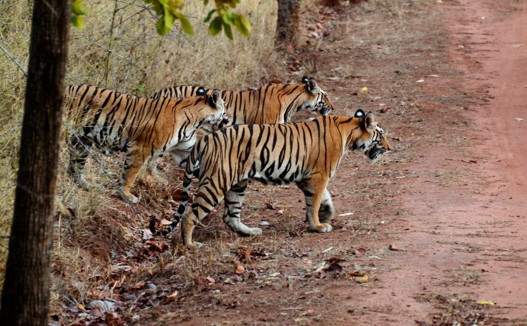 Three bengal tigers walking