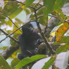 Colombian black spider monkey sitting in a tree, vocalizing