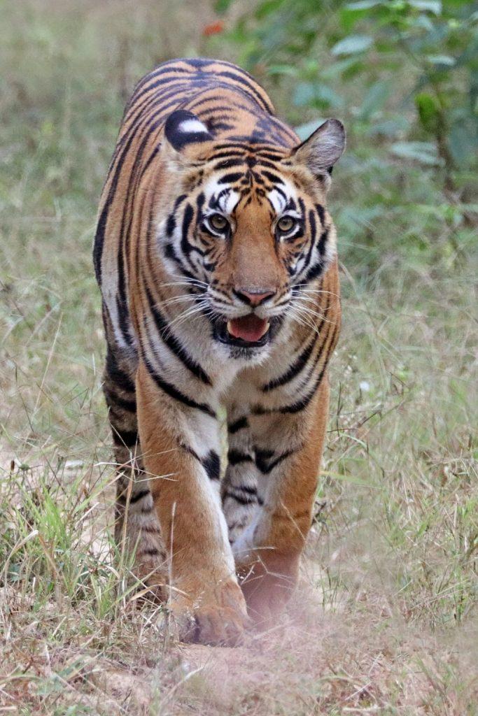 Bengal tiger walking through grass