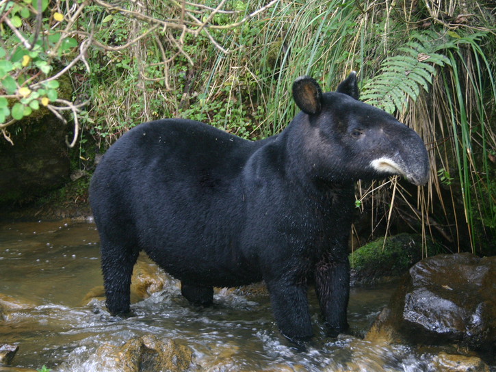 Mountain tapir standing in stream with vegetation